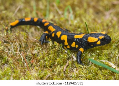 The fire salamander (Salamandra salamandra) is possibly the best-known salamander species in Europe. Macro portrait on moss in Slovakia.
