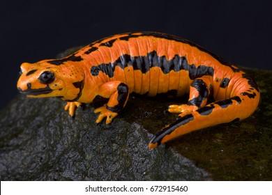 "fire salamander, Salamandra salamandra terrestris ""solling"""