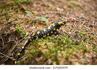 Fire salamander in wild  Schneeberg  Lower Austria