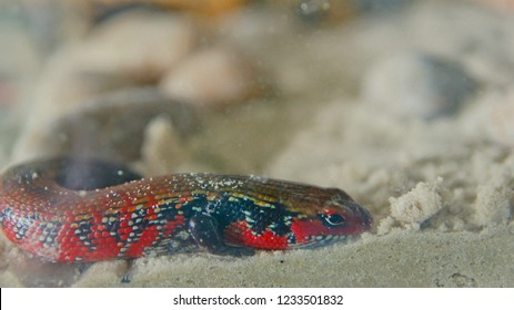 fire skink lizard in sand