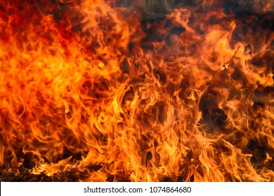 Fire storm, fire gale. Red steer in shrub kills huge number small animals, Wall of fire like wall of red bushes. Greedy flames devour prairie and forest. Climate change and increase drough