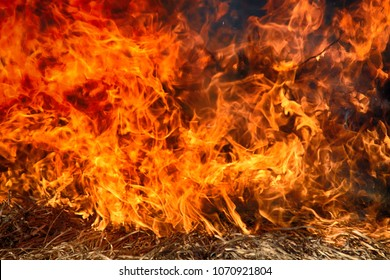Fire storm. Fire in shrub kills huge number small animals, Tongues of fire, wall of fire like wall of red bushes