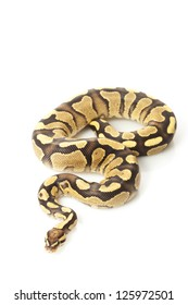 Fire yellow belly ball python (Python regius) isolated on white background.