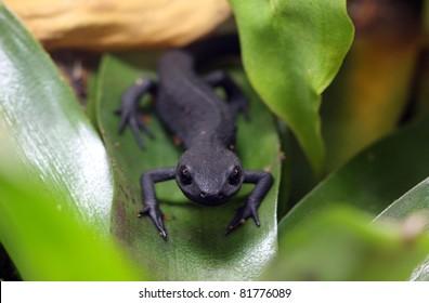 Fire-bellied newt.