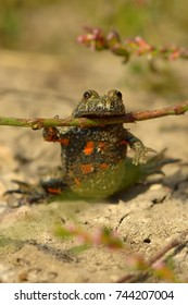 Fire-Bellied Toad. Frog with branch, Happy, conditioning frog.