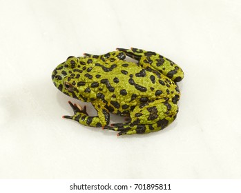 Fire-bellied toad on white background