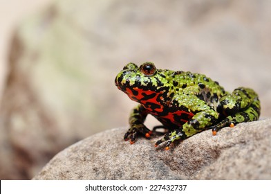 Fire-bellied Toad sitting on a stone