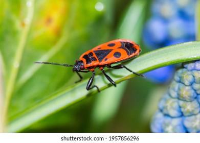 Firebug, Pyrrhocoris apterus, is a common insect of the family Pyrrhocoridae.