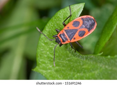 A firebug (Pyrrhocoris apterus) sits on a leaf