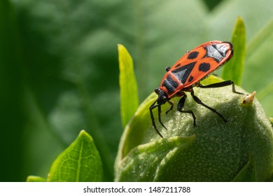 Firebug (Pyrrhocoris apterus), vermin in the gardens