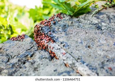 Firebugs gathered on a rock