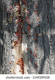 Lot of firebugs (Pyrrhocoris apterus) sitting on tree barch. Red bugs on wooden surface. Insects groups in real nature.