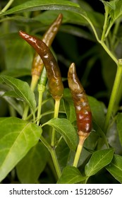 Firecracker Chili damaged by Oriental Fruit Fly Larvae Non sharpen