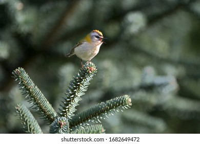 Firecrest passerine Regulus bird perched on tree branch