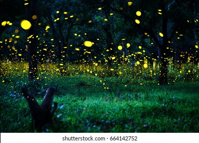 Firefly flying in the forest. Fireflies in the bush at night in Prachinburi Thailand. Long exposure photo.