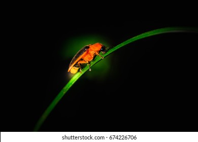 firefly or lightning bug ( Lampyridae ) on dark background
