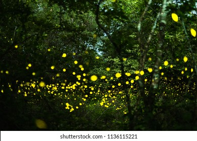 Firefly, lightning bugs flying at night in the forest in Thailand, Lights in the night