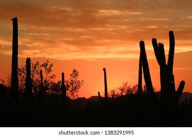 Firery Orange sky at sunset in Saguaro National Park West in Tucson, Arizona. Saguaro cacti in silhouette.