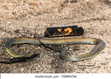 Fires in Portugal - Burned snake at Leiria pine forest great fire.