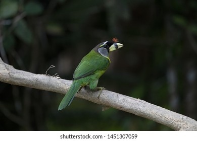 The fire-tufted barbet (Psilopogon pyrolophus) is a species of bird in the Asian barbet family Megalaimidae, photographed in Fraser's Hill in Pahang, Malaysia.