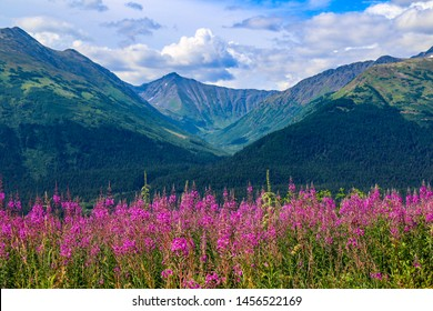 Fireweed in Anchorage Alaska in the summer