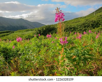 Fireweed in bloom with mountains in the background, Alaska.