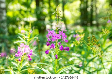 Fireweed blooming, finnish summer, Finland