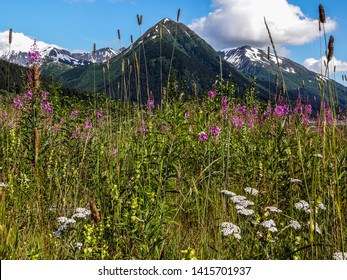 Fireweed blooming in front of a snow-capped mountain in the summer on the Turnagain Arm in Alaska.