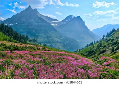Fireweed blooming in mountains. Glacier National Park. Montana. United States.