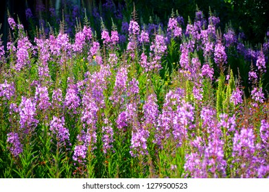 Fireweed blooms in late summer in the mountain regions.