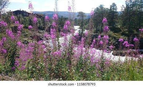 Fireweed by the river in Setesdal.