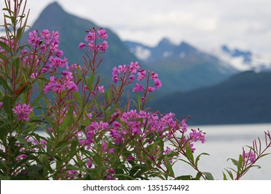 Fireweed (chamaenerion angustifolium and ) in full bloom with Chagach Mountains in Valdez Alaska in Aug; Fireweed is also known as willowherb or rosebay willowherb