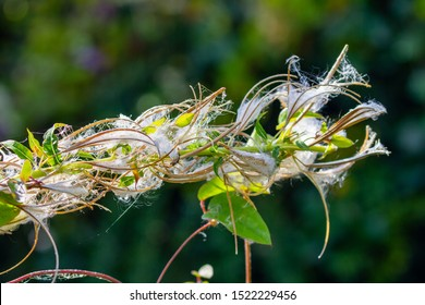 Fireweed Chamaenerion angustifolium rosebay willowherb dispersing fluffy seed capsules.  White seed capsules head pods blowing in wind. Green bokeh background. Garden in Dublin Ireland