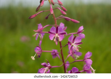 Fireweed - Chamerion angustifolium, photographed at Agassiz Wildlife Refuge, Minnesota.