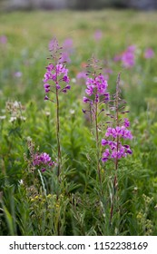 Fireweed flowers blooming at Albion Basin, Little Cottonwood Canyon, Utah, USA during summer.