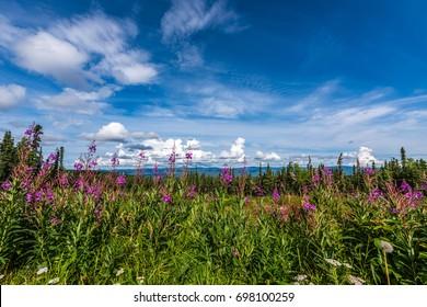 Fireweed flowers and pine trees make up the mountain landscape near Fairbanks, Alaska.