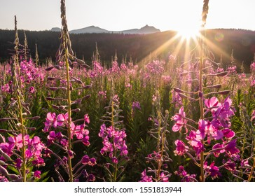 Fireweed glowing from the golden hour light. A gorgeous summery flowering plant.