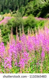 The fireweed or great willowherb or rosebay willowherb
