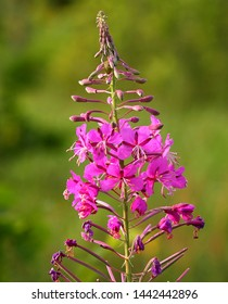 The fireweed inflorescence with bright red-pink flowers looks like a burning candle.