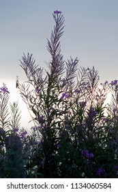 fireweed in the morning light at the Kremersdijkje in Alteveer, the Netherlands