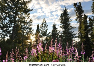 Fireweed in the North