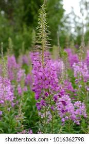 Fireweed (Rosebay Willowherb, Epilobium angustifolium). Summer