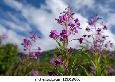 Fireweed wildflower in Alaska against a partly cloudy sunny sky