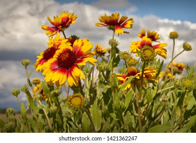 Firewheel, Sundance, or Indian Blanket Flower. Sundance flower in a meadow.  Also known as Fire Wheel flower, and Indian Blanket flower. It is the State Wildflower of Oklahoma.