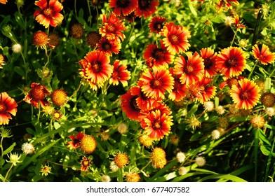 Firewheel Wildflowers of the Coastal Outer Banks of North Carolina