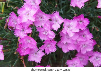 Firewitch dianthus gratianopolitanus or carnation pink flowers