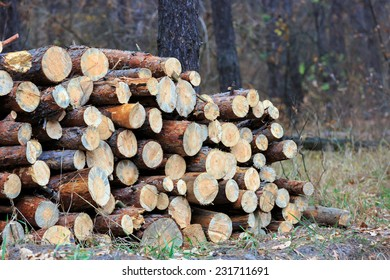 Firewood store in pine forest