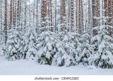 Firs and pines in the forest after snowfall