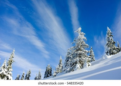 firs, snow and blue sky