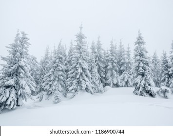 firs in winter fog after snow storm